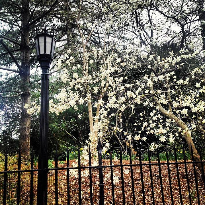 Brooklyn Botanical Garden, Cherry Blossom Tree | DeSmitten